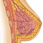 Breast_Anatomy-150w