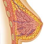 Breast_Anatomy-150w
